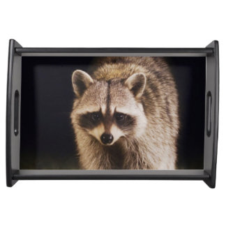 Northern Raccoon, Procyon lotor, adult at Serving Tray