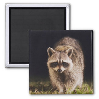 Northern Raccoon, Procyon lotor, adult at Square Magnet