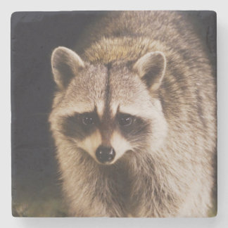 Northern Raccoon, Procyon lotor, adult at Stone Coaster