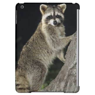 Northern Raccoon, Procyon lotor, adult at tree