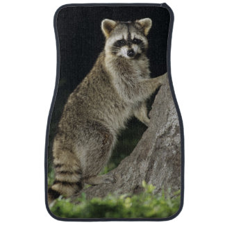 Northern Raccoon, Procyon lotor, adult at tree Car Mat