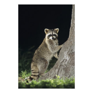 Northern Raccoon, Procyon lotor, adult at tree Photo Art