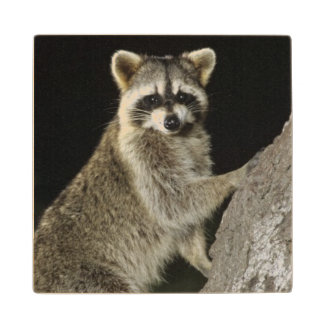 Northern Raccoon, Procyon lotor, adult at tree Wood Coaster
