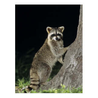 Northern Racoon, Procyon lotor, adult at tree Postcard
