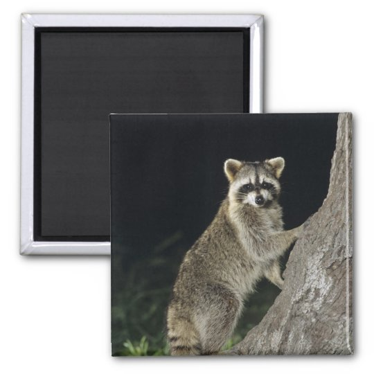 Northern Racoon, Procyon lotor, adult at tree Square Magnet