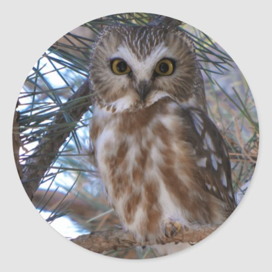 Northern Saw-Whet Owl in Pine Tree Round Sticker