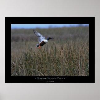 Northern Shoveler Duck Poster