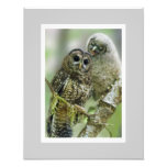 Northern Spotted Owl (Strix occidentalis)  11 x 14