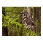 Northern Spotted Owl (Strix occidentals caurina) Postcard