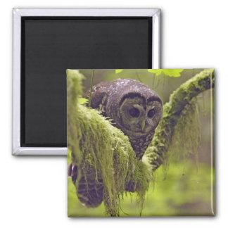 Northern Spotted Owl Strix occidentals Magnet