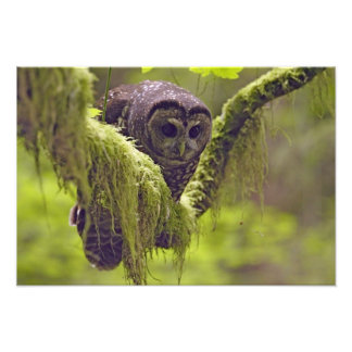 Northern Spotted Owl Strix occidentals Photo Print