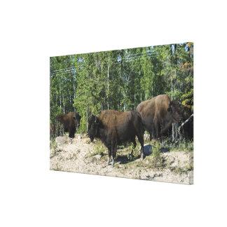 Northwest Territories. Wood Buffalo National Canvas Print