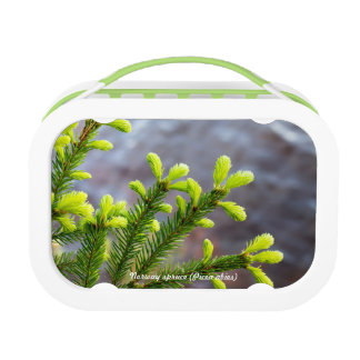 Norway spruce lunch box