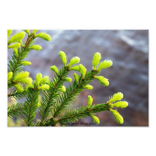 Norway spruce photo