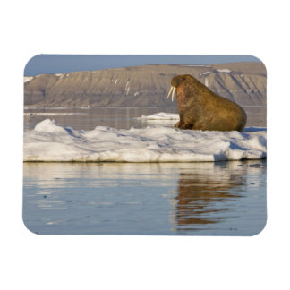 Norway, Svalbard, Edgeoya Island, Walrus Magnet
