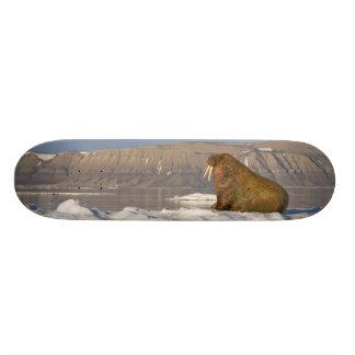 Norway, Svalbard, Edgeoya Island, Walrus Skate Boards
