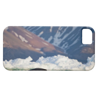 Norway, Svalbard, Spitsbergen Island, Bearded 2 iPhone 5 Case