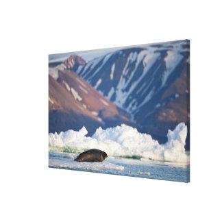 Norway, Svalbard, Spitsbergen Island, Bearded 2 Stretched Canvas Prints