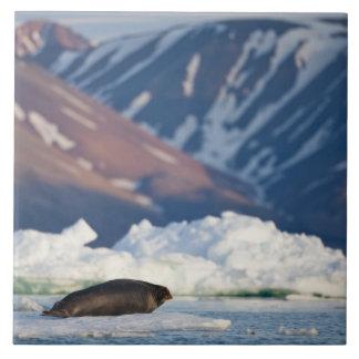 Norway, Svalbard, Spitsbergen Island, Bearded 2 Tile