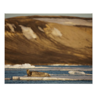 Norway, Svalbard, Spitsbergen Island, Bearded Poster
