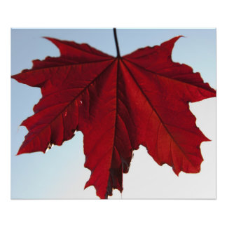 Norwegian Crimson King Maple Leaf Photo Art