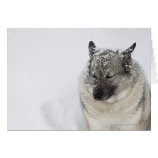 Norwegian Elkhound Card
