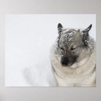 Norwegian Elkhound Poster
