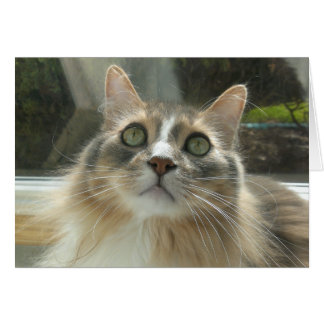 Norwegian Forest Cat grey and white Greeting Card
