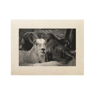 Norwegian goates black and white photo poster