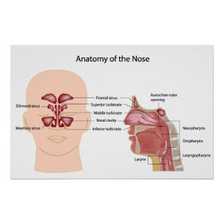 Nose anatomy labeled poster