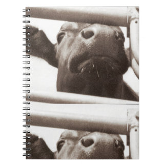 Nosey cow spiral notebook