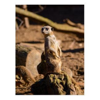 nosey meerkat postcard