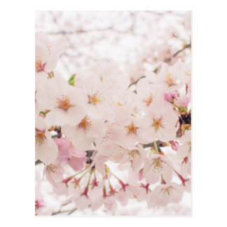 nostalgic sakura postcard
