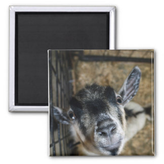 Nosy Goat Looking Up Square Magnet