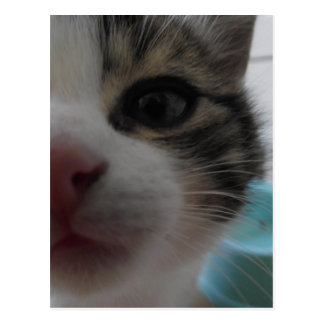 Nosy Kitten Postcard