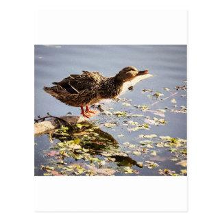 Not Duck Postcard
