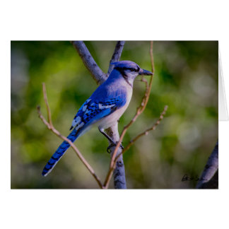 Note Card - Blue Jay