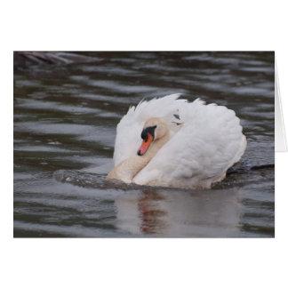 Notecard: 'Busking Display Male Mute Swan' Card
