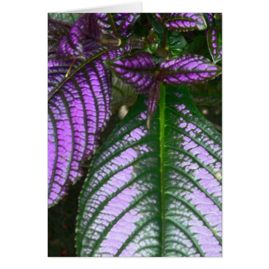 notecard/PLANT/PURPLE AND GREEN/PERSIAN SHIELD Card