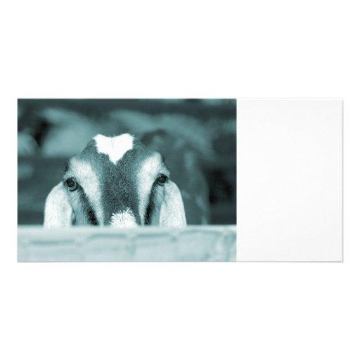 Nubian doe bw blue peeking over wooden rail photo cards