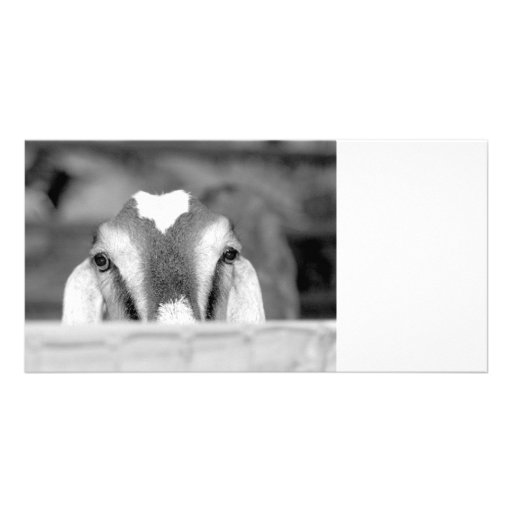 Nubian doe bw peeking over wooden rail.jpg custom photo card