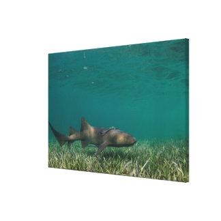 Nurse Shark Swimming Canvas Print