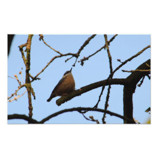 Nuthatch With Head High Photo Print