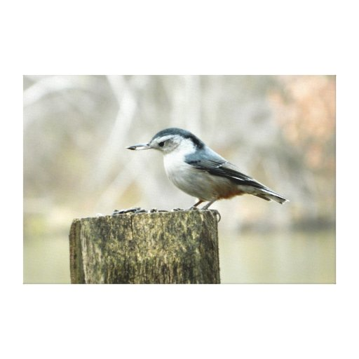 Nuthatch with Sunflower Seed Nature Print Canvas Print