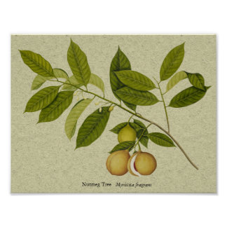 Nutmeg tree botanical print