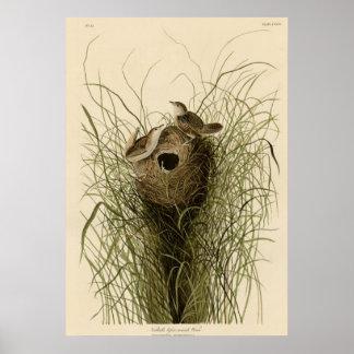 Nuttall's lesser marsh Wren Posters