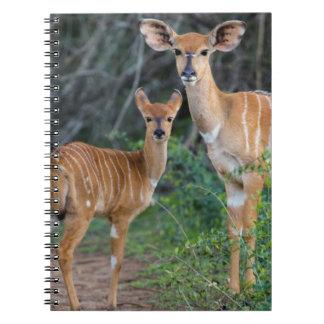 Nyala (Tragelaphus Angazii) With Young, Ndumo Notebook
