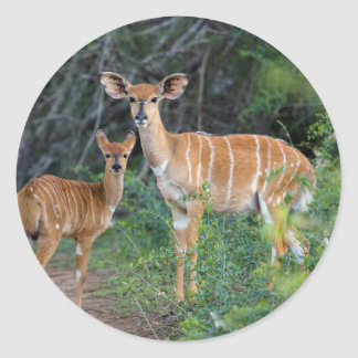 Nyala (Tragelaphus Angazii) With Young, Ndumo Round Sticker