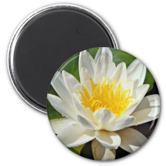 Nymphaea albida white hardy water lily flowers refrigerator magnet
