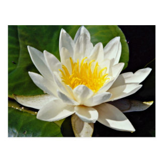 Nymphaea albida, white, hardy water lily  flowers postcard